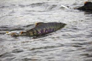鮭の遡上とイクラの硬さの関係
